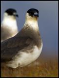 A pair of Arctic Skuas