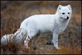 Prepared for winter - a beautiful Arctic Fox
