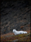 Arctic Fox resting near Sysslemans Office....