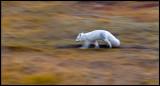 Arctic Fox with winterfur in autum colors