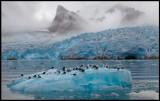 Kittywakes close to Smeerenburg glacier