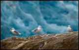 Vittrutar / Glaucous Gulls (Larus hyperboreus)
