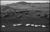 Sheep near Lagavulin distilleri - Islay Scotland