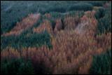 Coniferous forrest with autum birches