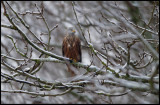 Red Kite during snowfall near Fyledalen