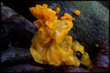 Gullkrös (Tremella mesenterica) parasit on other fungi