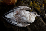 Young Herring Gull did not survive the cold night - Simrishamn