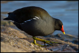 Common Moorhen (Rörhöna) - Hermotts Mill Pond, Bristol England