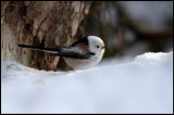 Long-tailed Tit (Stjärtmes -Aegithalos caudatus) - Kårestad