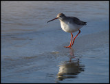Spotted Redshank (Svartsnäppa - Tringa erythropus) in winter plumage - Holland