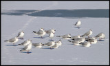 Black-headed Gulls (Skrattmåsar) - Holland
