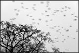 Jackdaws at dusk - Kajor