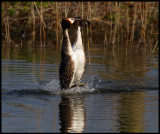 Great -crested Grebes mating display - Rotterdam