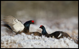 Black Grouse (Orrar) fighting in the morning after the last snowstorm in march
