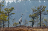 Crane (and Black Grouse) a dull morning at the bog