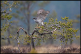A spectacular guest at the bog and the Grouse lekking place - a female Goshawk (Duvhök)