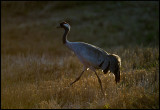 Late evening Crane (Trana)  near Hammerdal