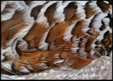 The most beautiful feathers of a Hazel Grouse (Järpe)