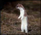 The Stoat often stands upright looking around