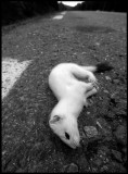 A Stoat in winterfur just killed by a car on a nearby road