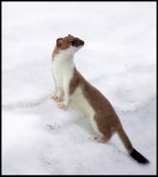 Stoat (Hermelin - Mustela erminea) in summer fur