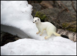 Stoat (Hermelin - Mustela erminea) in winter fur