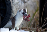 Stoat (Hermelin) with meat