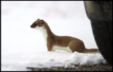 Stoat (Hermelin - Mustela erminea) in summer fur near a car