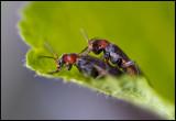 Soldier Beetles mating (Flugbaggar)