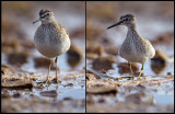 Same species?? Wood Sandpiper being scared - Liminka Finland