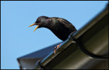 A Starling goes crazy over our neighbors cat (Morris)