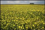 Great Yellow-rattle (Höskallra) Håslövs ängar Kristianstad