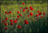 Poppys (Vallmo) - Öland