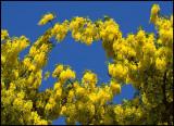 Gullregn (Laburnum) - Grönhögen Öland