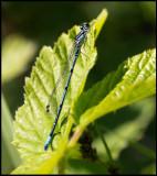 Ljus lyrflickslända (Coenagrion puell) - Ottenby