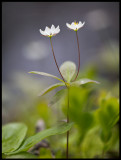 Skogsstjärna (Trientalis europaea) - Mattmar