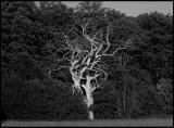 Dead Oak - Blekinge