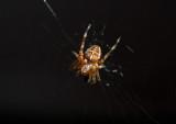 European Garden Spider (Korsspindel) - Öland