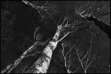 Birches in Ottenbylund - Öland