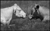 Relaxing cows - Parboäng Öland