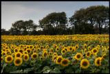 Common Sunflowers at Ventlinge - Öland