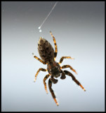 Small spider going downwards in my window