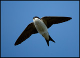 Common House Martin (Hussvala) adult - Ottenby