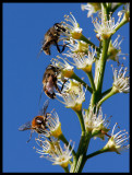 Hoverflies (blomflugor) in Höllviken garden - Scania