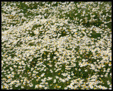 Carpets of flowers in early spring