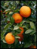 Orange tree in Arroyo de la Luz