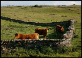 Cows near Alcantàra