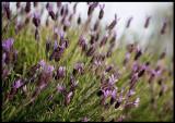 Roadside flowers - Arroyo
