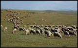 Sheep on the huge plains north of Trujillo