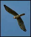 Female Montague´s Harrier